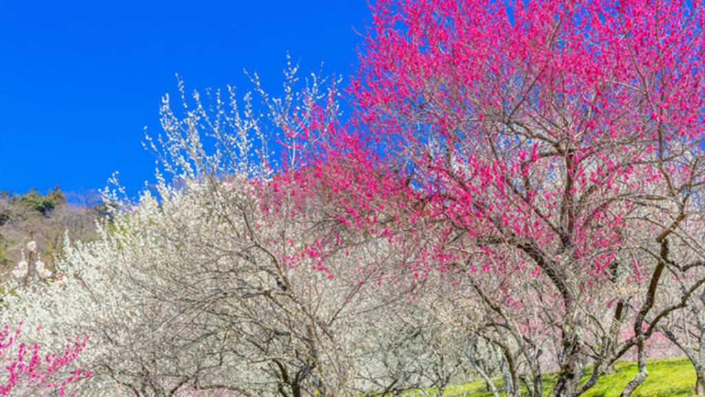 plum blossom during spring time